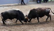 Yusufeli'ndeki Heyecan Dolu Boğa Güreşlerinden 7 Fotoğraf
