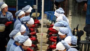 Zonguldak'tan Avrupa'ya Yılda 1500 Ton Salyangoz İhracı