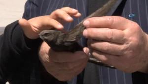 Sivas'ta 'Dokunanın Bir Yıl Sıkıntı Çekmeyeceğine İnanılan' Ebabil Kuşu Bulundu