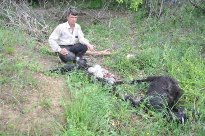 Malkara'da Köye İnen Aç Kurtlar, Ağıldaki Keçileri Parçaladı