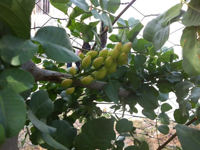 Siirt'te Ilginç Gelenek Kendi Bağında Başkasının Fıstık Ağaçlarına Bakıyor