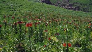 Yüksekova'da Ters Laleler Çiçek Açtı