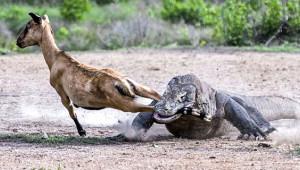 İki Komodo Ejderi, Yakaladıkları Keçiyi Paramparça Etti