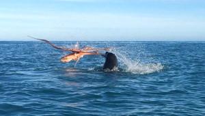Ahtapot, 120 Kiloluk Fok Balığını Yendi