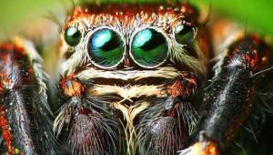 8 Gözlü Sıçrayan Örümcek: Salticidae