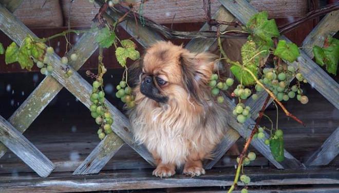 Evinizde Bulunan Bu Meyve Köpeğinizi Öldürüyor