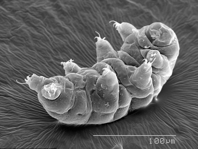 Dünya, -270 Derecede Bile Yaşayabilen Mikroskobik Su Ayısına Kalacak