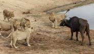 Bufalo Etrafını Saran 5 Aslana 35 Dakika Direnebildi