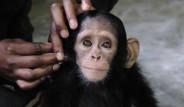 İnsanlara Çabuk Alışan Öksüz Şempanze