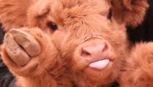 İskoç Buzağılarının En Tatlı Yavrular Olduğunu Kanıtlayan 50 Fotoğraf