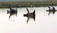 Namibya'da Şarbon Salgını: 100'ü Aşkın Su Aygırı Öldü