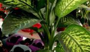 Bu Bitki Evinizde Varsa Dikkat! Öldürücü Olabilir