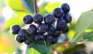 Aronia Meyvesi Kolon Kanserini Bile Önlüyor!