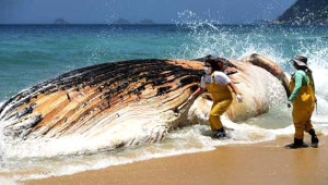 Brezilya'da Devasa Balina Kıyıya Vurdu