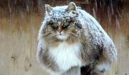 Rus Kadın Evini Sibirya Kedisi Çiftliğine Dönüştürdü!