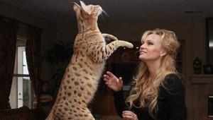 Dünyanın En Büyük 8 Evcil Kedi Türü