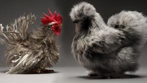 Daha Önce Hiçbir Yerde Görmediğiniz Tavuk Fotoğrafları