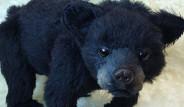 İki Yıl Boyunca Köpek Sanıp Beslediği Hayvan Asya Siyah Ayısı Çıktı