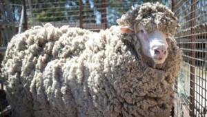 4 Yıldır Kırpılmayan Koyunun Tüyleri Kesildi! Son Hali İnanılmaz