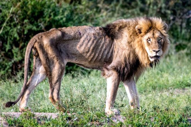 Sürüden Atılarak Ölüme Terk Edilen Aslan'ın Yürek Burkan Görüntüleri