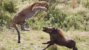 Hamile Leopar, Yaban Domuzunu Yakalamak İçin Şov Yaptı