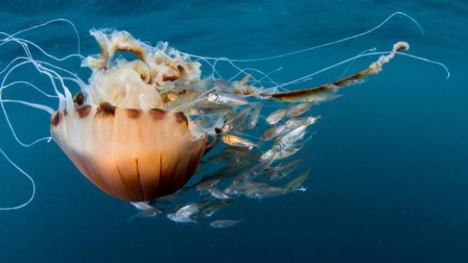 Akdeniz İçin Zehirli Denizanası Uyarısı! Ölüsüne Bile Sakın Dokunmayın