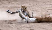 Sinsi Leopar, Savunmasız Ceylanı Sadece 2 Dakikada Avladı