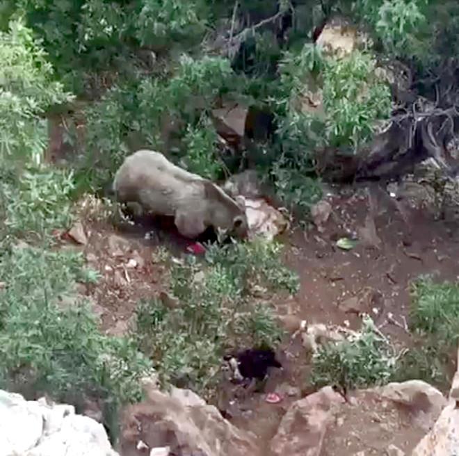 Köye İnen Bozayı, Önce Karpuz Kabuklarını Sonra Koyun Postunu Götürdü!