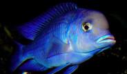 Balıkların Hafızasının 3 Saniye Olduğu Da Şehir Efsanesi Çıktı