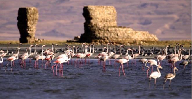 Göç Hazırlığındaki Flamingoların Van Gölü'ndeki Görsel Şöleni