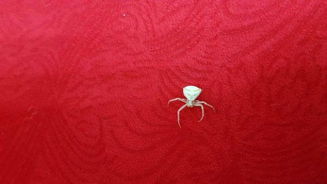 Türkiye'yi Bastılar! İnsan Yüzlü Örümcek Görenleri Şoke Ediyor!