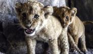 Türkiye'nin İlk Aslan Parkı Açıldı!