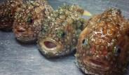 Denizden Babam Çıksa Yerim Diyenleri Düşündüren Rus Balıkçının Tuttuğu 15 Korkunç Balık
