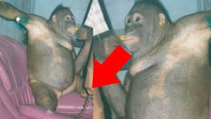 Yatağa Zincirledikleri Orangutanı 6 Yıl Boyunca Cinsel İlişki Kölesi Yaptılar