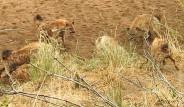 Aslanı, Tek Başına Yakalayıp Üstüne Yürüyen Sırtlan Sürüsünün Başına Gelmeyen Kalmadı!