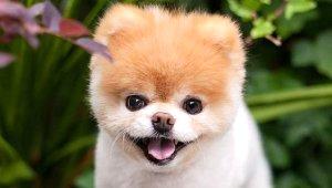 Dünyanın En Güzel Köpeğiydi, Ölümü 17 Milyon Takipçisini Yasa Boğdu