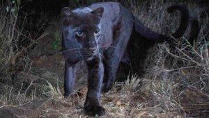 Avını Takip Eden Siyah Leopar, Fotokapana Yakalandı! 100 Yıldır İlk Kez Görüntülendi