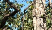 Ağaçta Uyuyan Mükemmel Kamufle Baykuşları Görebiliyor musunuz?