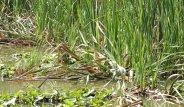 Sazlıklara Kamufle Olan Balıkçıl Kuşunu Görebiliyor musunuz?