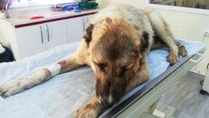 Av Tüfeğiyle Vurulan Köpeğin Röntgeninde Şoke Eden Detay!