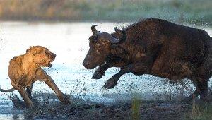 Bufalo, Yavrusunu Isıran Aslanı Perişan Etti!