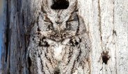 Ağaçta Uyuyan Mükemmel Kamufle Baykuşu Görebiliyor musunuz?