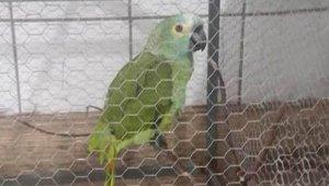 Uyuşturucu Taciri Sahibini 'Polis burada' Diye Uyaran Papağan Tutuklandı!