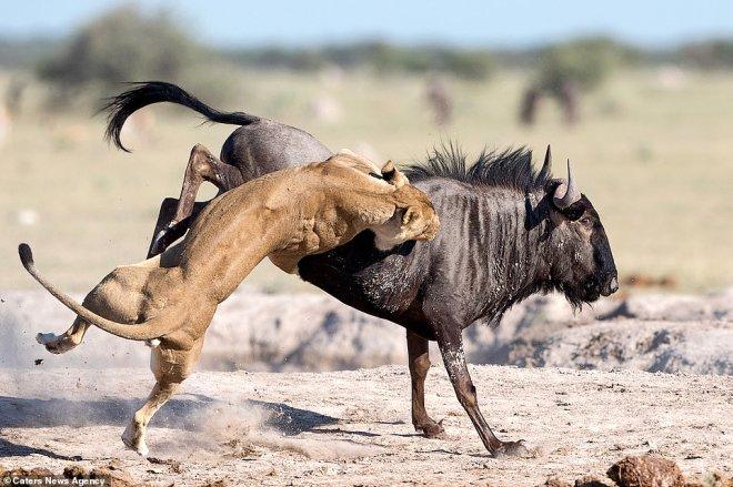 Anbean Kaydedildi! Aslanın Elinden Kaçmak İsteyen Antilobun Acı Sonu