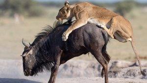 Aslanın Elinden Kaçmak İsteyen Antilobun Acı Sonu