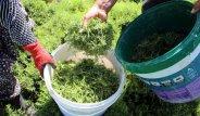 Hatay'ın Eşsiz Bitkisini Yetiştiren Köy Halkı, Yılda 25 Bin Lira Kazanıyorlar!