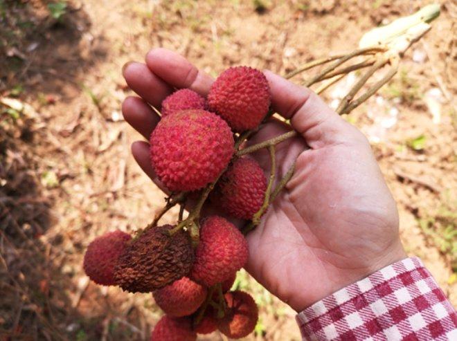Hindistan'da tropik meyve, 10 günde 31 çocuğu art arda öldürdü!