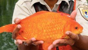Klozete atılan japon balığının son halini gören gözlerine inanamıyor!