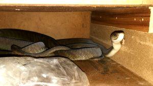 Çekmeceyi açtığında yılanlarla burun buruna geldi!