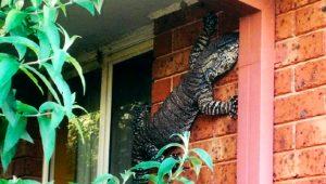 Şoke eden kare! Devasa komodo ejderi eve girmeye çalışırken yakalandı